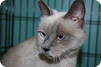 Domestic Shorthair Cat for adoption in Burbank, California - Flower