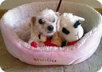 Poodle (Miniature) Dog for adoption in Flushing, New York - Pixie