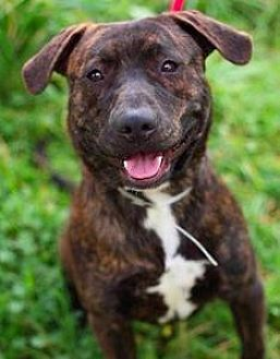 Pit Bull Terrier Mix Dog for adoption in San Ramon, California - Cody