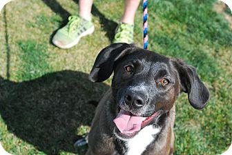 Border Collie/Labrador Retriever Mix Dog for adoption in Twin Falls, Idaho - Jessi
