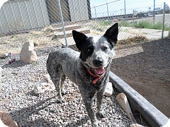 Blue Heeler Mix Dog for adoption in Edgewood, New Mexico - Stella