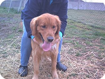Golden Retriever Mix Dog for adoption in Reedsport, Oregon - Rusty