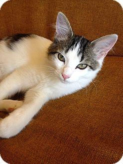 Domestic Shorthair Kitten for adoption in St. Louis, Missouri - Sanders