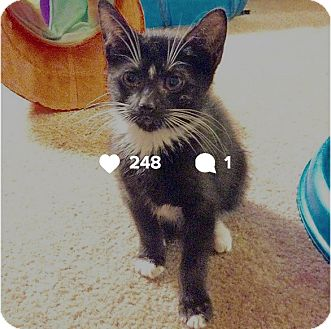 American Shorthair Kitten for adoption in New  York City, New York - Mickey