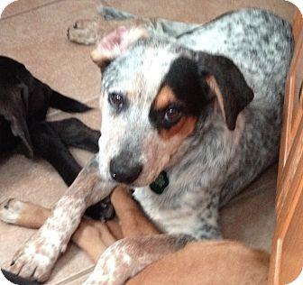 Blue Heeler/Labrador Retriever Mix Puppy for adoption in Hainesville, Illinois - Spinner
