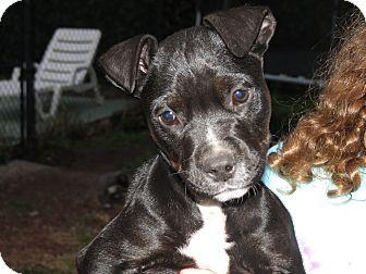 Labrador Retriever/American Bulldog Mix Puppy for adoption in Middleburg, Florida - Thelma
