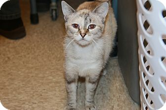 Siamese Cat for adoption in Rochester, Minnesota - Coy