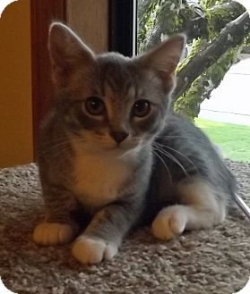 Domestic Shorthair Kitten for adoption in Salem, Oregon - Tinker Bell