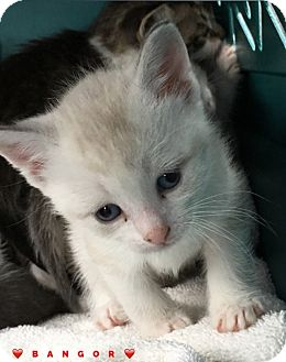 Domestic Shorthair Kitten for adoption in Great Neck, New York - BANGOR