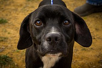Cocker Spaniel Mix Dog for adoption in Jasper, Alabama - Tarus