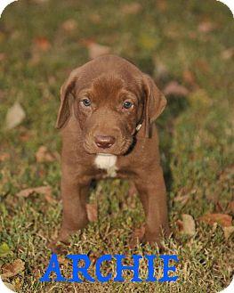Labrador Retriever Mix Puppy for adoption in Colmar, Pennsylvania - Archie