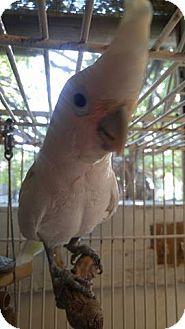 Cockatoo for adoption in Burleson, Texas - Delilah
