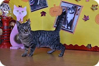 Domestic Shorthair Kitten for adoption in North Judson, Indiana - Shirley