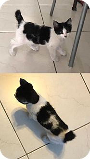 Domestic Mediumhair Cat for adoption in Santa Monica, California - Domino and Gogo