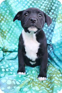 Labrador Retriever/Staffordshire Bull Terrier Mix Puppy for adoption in Staunton, Virginia - Bess