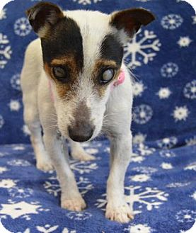Jack Russell Terrier Mix Dog for adoption in Buena Vista, Colorado - Taylor