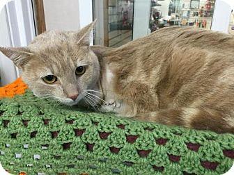 Domestic Shorthair Cat for adoption in Harrisburg, Pennsylvania - Nicholas