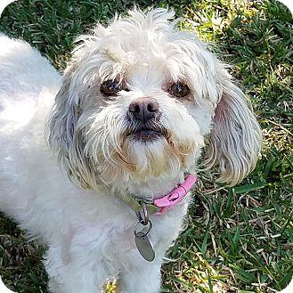 Maltese/Poodle (Toy or Tea Cup) Mix Dog for adoption in San Dimas, California - BAILEY