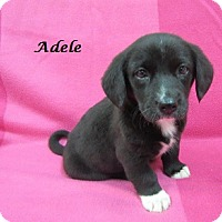 Adopt A Pet :: Adele - Bartonsville, PA
