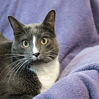 Domestic Shorthair Cat for adoption in Houston, Texas - Darby