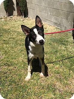 Border Collie Dog for adoption in San Pedro, California - TULIE