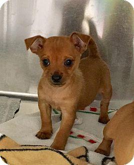 Chihuahua Mix Puppy for adoption in North Wilkesboro, North Carolina - Franklin