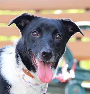 Collie/Shepherd (Unknown Type) Mix Dog for adoption in San Mateo, California - Pony