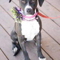Adopt A Pet :: Madison - Fresno, CA