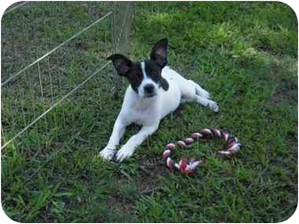 Rat Terrier/Terrier (Unknown Type, Small) Mix Puppy for adoption in Cairo, Georgia - Sparkle
