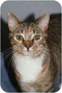 Domestic Shorthair Cat for adoption in Marietta, Georgia - AC