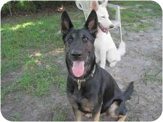 German Shepherd Dog Dog for adoption in Green Cove Springs, Florida - Greta