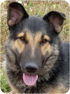 German Shepherd Dog/Collie Mix Dog for adoption in Los Angeles, California - Logan von Lansing - SWEETIE!
