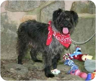 Schnauzer (Miniature)/Terrier (Unknown Type, Small) Mix Dog for adoption in Muldrow, Oklahoma - Ali