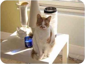 Domestic Shorthair Cat for adoption in Cincinnati, Ohio - Tiger Lily Too
