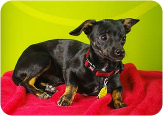 Chihuahua/Dachshund Mix Puppy for adoption in Westminster, Colorado - JJ