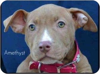 American Pit Bull Terrier Puppy for adoption in San Clemente, California - AMETHYST