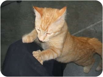 Domestic Shorthair Kitten for adoption in lake worth, Texas - Chase