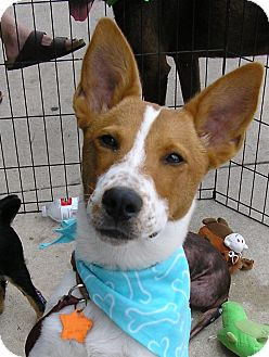 Jack Russell Terrier/Bull Terrier Mix Puppy for adoption in Austin, Texas - Gatsby
