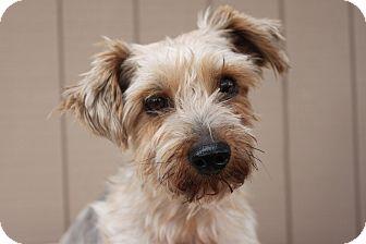 Silky Terrier Dog for adoption in Bend, Oregon - Alf
