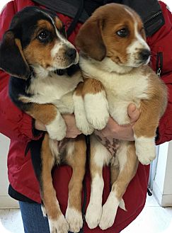 Beagle/Husky Mix Puppy for adoption in Struthers, Ohio - Holly & Jolly