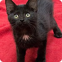 Adopt A Pet :: Harper Lee - Chicago, IL