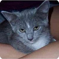 Adopt A Pet :: Glee Club Kittens - Alexandria, VA