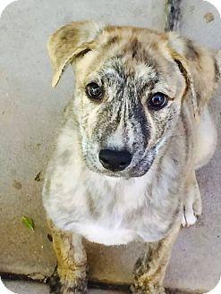 Shepherd (Unknown Type)/Plott Hound Mix Puppy for adoption in Woodland Hills, California - JERMAINE JACKSON