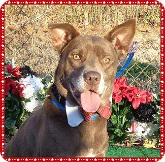 Labrador Retriever/Shepherd (Unknown Type) Mix Dog for adoption in Marietta, Georgia - CASON (R)