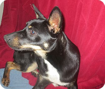 Basenji/Cairn Terrier Mix Dog for adoption in Lubbock, Texas - Wyman