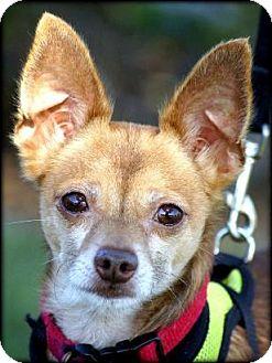 Chihuahua Mix Dog for adoption in Vista, California - Evan