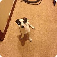 Adopt A Pet :: Sprinkles - Brick, NJ
