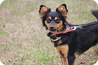Sheltie, Shetland Sheepdog Mix Dog for adoption in Coventry, Rhode Island - Dingo