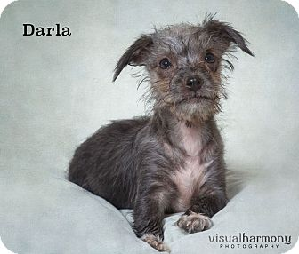 Cairn Terrier Mix Puppy for adoption in Phoenix, Arizona - Darla