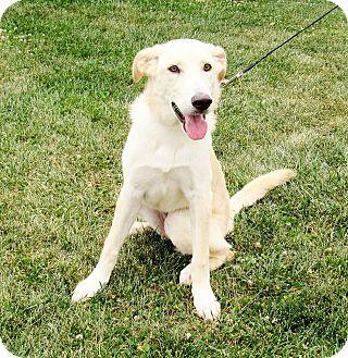 Labrador Retriever/German Shepherd Dog Mix Dog for adoption in New Oxford, Pennsylvania - Darcy